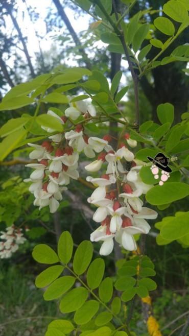 grappe de fleur d'acacia robinier