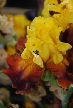 Iris jardins d'Albertas à Bouc Bel Air