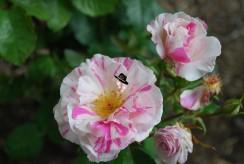 Roses jardins d'Albertas à Bouc Bel Air