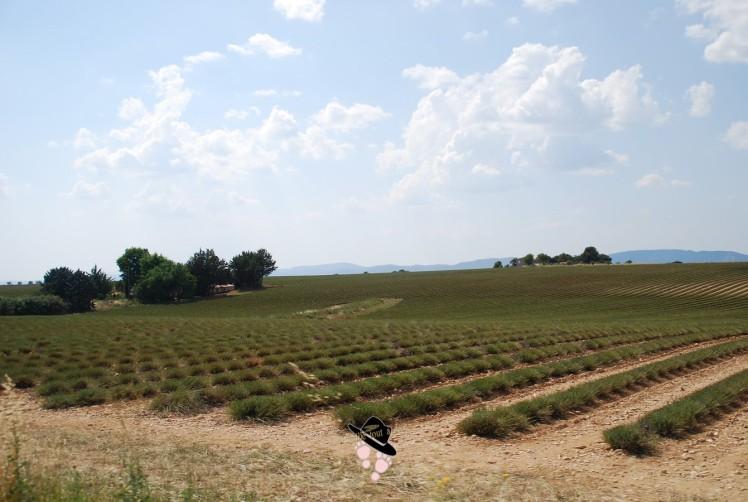champs de lavandes et lavandins coupés à Valensole Famille Tout à Dire
