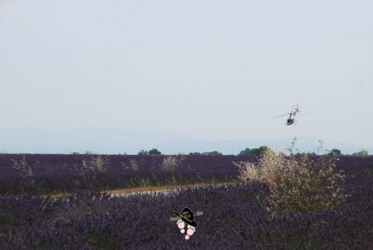 Vol Hélicoptère champ de lavande Valensole Famille Tout à Dire
