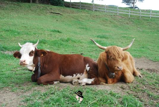 Vaches cloches Famille Tout à Dire